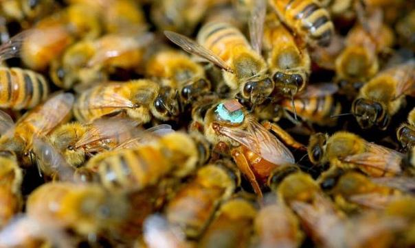 Ослепительный секс пчёл После спаривания королева на время теряет зрение спасибо секретному ингредиенту в сперме самцов.Как предотвратить спаривание королевы с другими Вот интересный