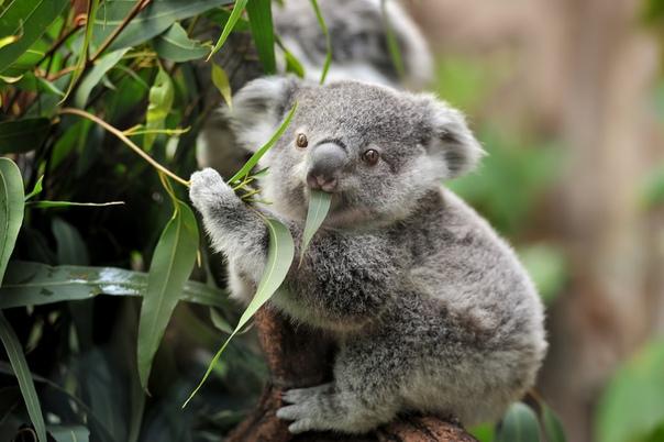 У коалы большая голова, но соотношение мозга к массе тела одно из самых низких среди млекопитающих, к тому же поверхность мозга практически гладкая Из-за этого коалы не способны к сложной