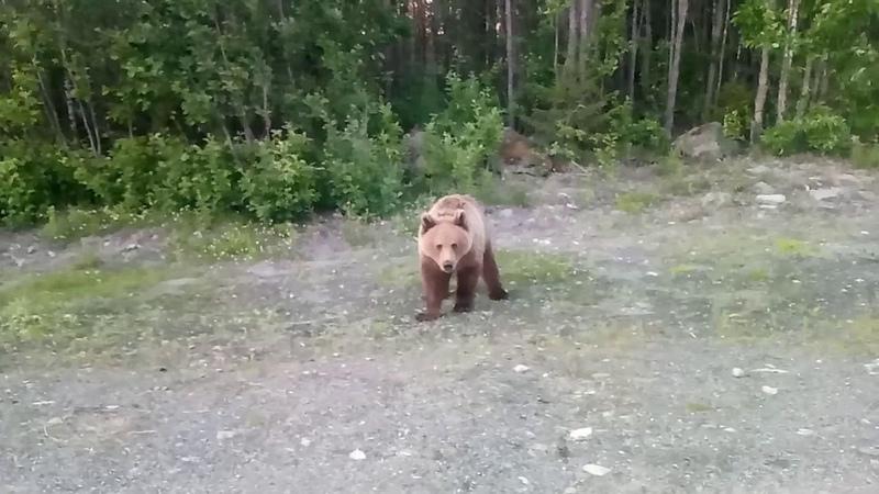 Медведь на трассе Карелия Беломорский район цензура