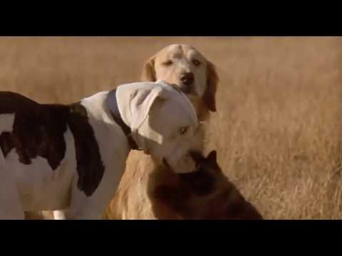 Sassy Finds Chance and Shadow scene (Homeward Bound The Incredible Journey)