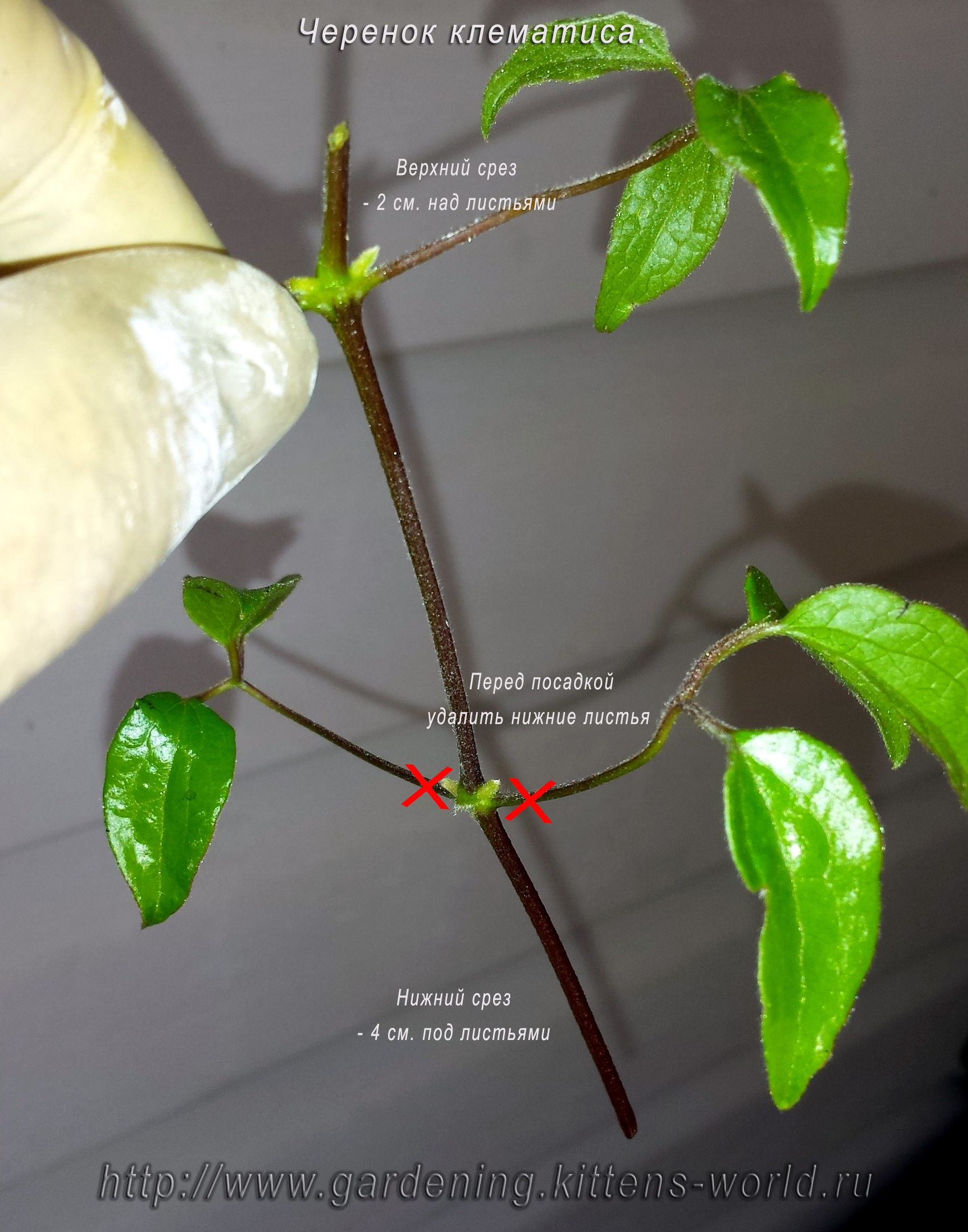 Летнее размножение клематиса из черенков