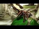 Террариум для avicularia versicolor. Ни грунта, ни коряг.