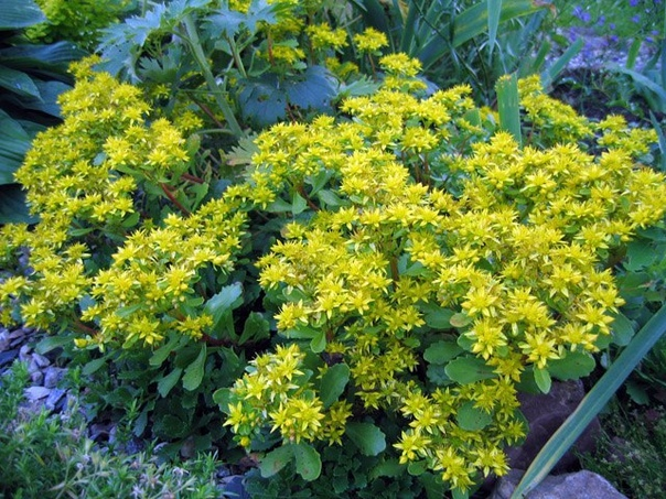 ОЧИТОК КАМЧАТСКИЙ Очиток Камчатский это многолетнее травянистое растение с прямостоячими или слегка полегающими побегами, образующими плотное ковровое покрытие почвы высотой до 15-20 см. Листья