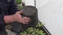 Как высаживаю в грунт большие помидоры и перцы с плодами из 7 литровых емкостей