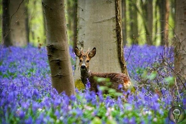 Халлербос синий лес в Бельгии Халлербос живописное место, представляющее собой буковый лес площадью 552 гектара (5,5 км²). Раскинулся он в бельгийском муниципалитете Халле на границе между