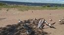 VID 20190623 ВРИО голубей на пляжу в Сестрорецке