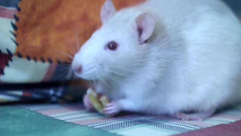 A bit about the life of rats | Live rats | Rat in house | 8 rats | Крысы
