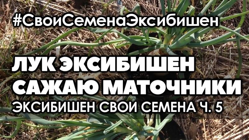 🌱 5 Как получить свои семена лука эксибишен Высадка маточников в открытый грунт
