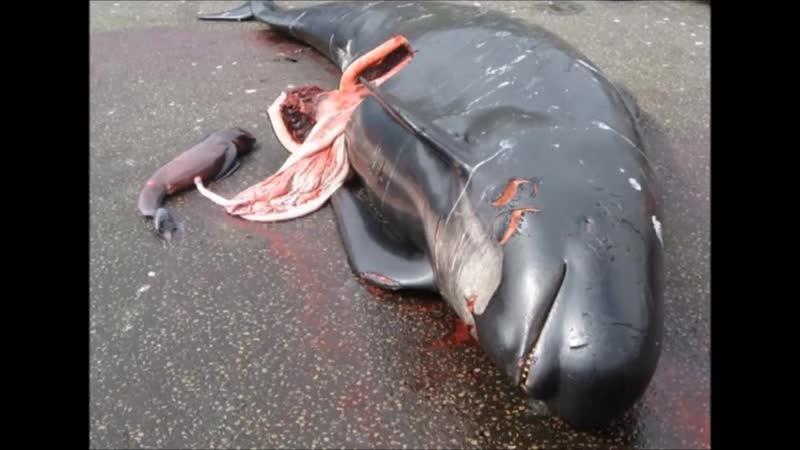 Maltraitance animale La Norvège va créer sa propre baie destinée au massacre des dauphins