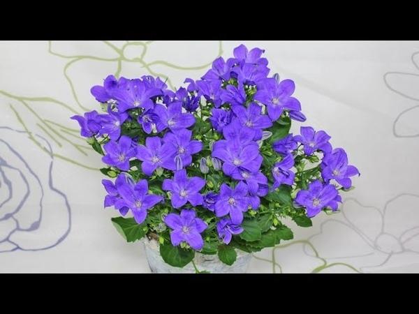 Campanula sp. Magic Mee - Glockenblume, Bellflower