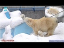 Беломедвежье семейство в Новосибирском зоопарке