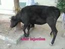 Премедикация крупного рогатого скота: седативный эффект ксилазина / Preanesthetic medications (sedative effect of xylazine HCl in cattle)