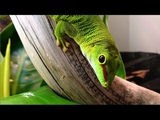 Phelsuma Grandis - MORE Verbal Arguments Over Honey