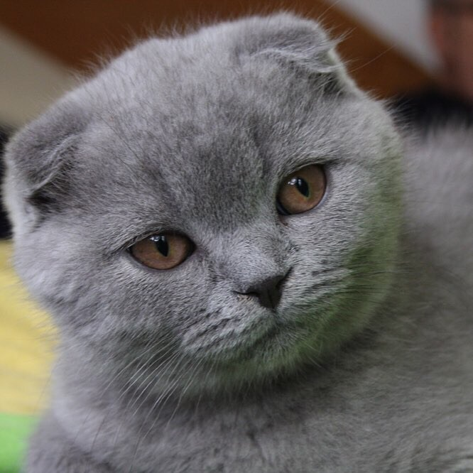 Нужен для вязки котик прямоухий ,для этой кошки.