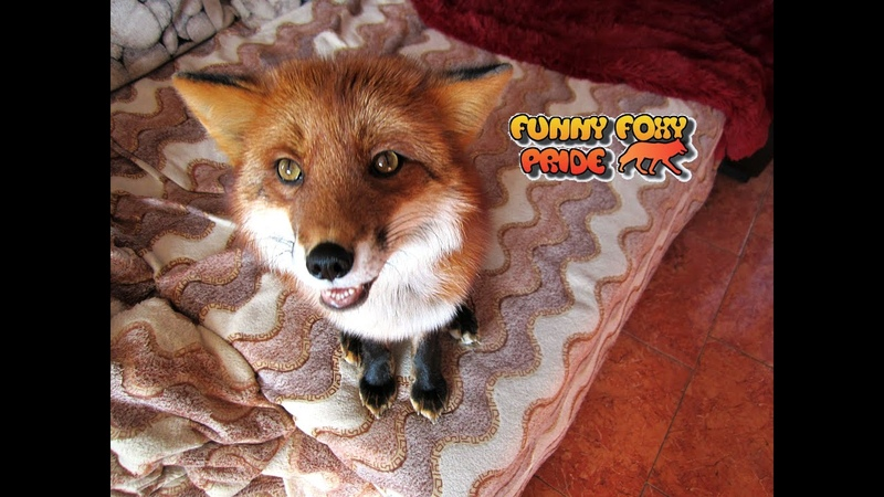 Fox Does Dog Tricks Talking