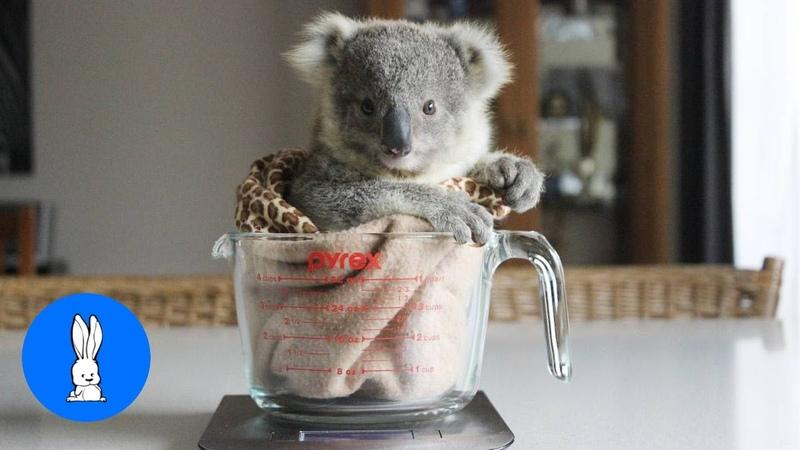 Baby Koala Bears Playing Climbing - CUTEST Compilation