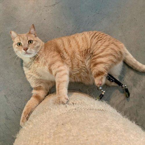 Бионический кот Вито: первый кот в Италии с ногами-протезами 6-летний кот стал звездой Интернета, будучи первым в Италии представителем семейства кошачьих, которому сделали протезы задних