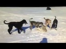 Собаки Против Волка