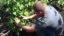 Нормировка виноградного куста гроздями Виноград 2018