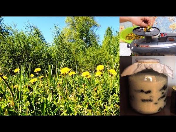 ч. 1. Одуванчик - желтая таблетка 🌻 для хорошего зрения. Мукополисахарид.