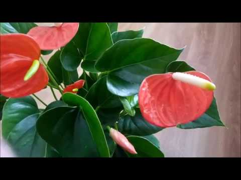 Антуриум Оранжевая любовь (Orange Love), видео обзор сорта