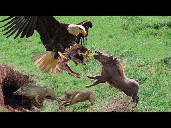 어머니 멧돼지는 독수리 사냥에서 새끼를 구출합니다 - Eagle vs Warthog