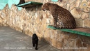 Семейство леопардов. Дездемона и дети. Тайган | Leopard family. Desdemona and cubs. Taigan
