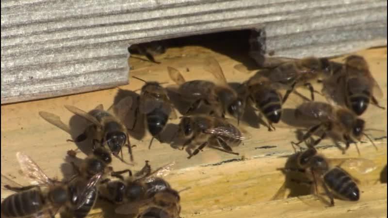 Эксперты в Башкирии из за гибели пчёл мёд подорожает минимум на 30%