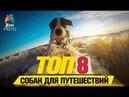 Топ 8 собак для путешествий Top 8 dogs for travel