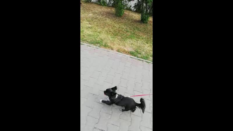 Собака ездовая