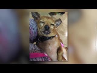 Mann will pitbull adoptieren - der hund weigert sich...