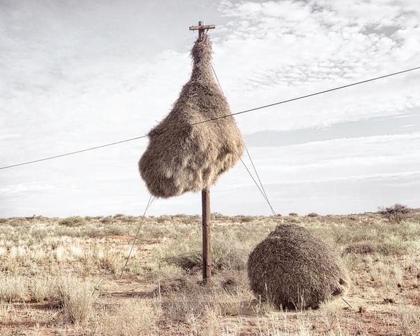 Массивные гнёзда, служащие крепостью и домом для множества видов птиц Нет, это не стог сена, случайно оказавшийся на телефонном столбе. Если вы посетите пустыню Калахари на юге Африки, то