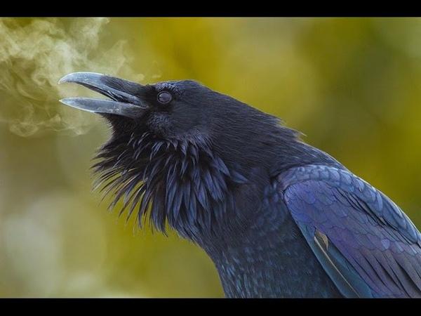 Клюв и мозг. Гениальные птицы