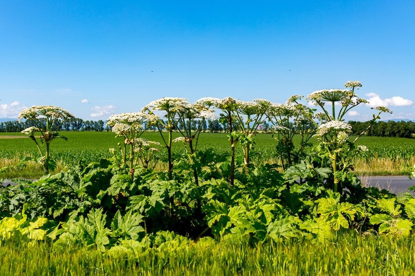 Борьба с борщевиком: как избавиться от сорняка.