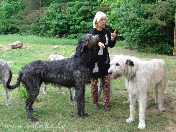 ТРИ РЕДКИХ ПОРОДЫ СОБАК, ЗАБЫТЫХ ОБЩЕСТВОМ Ирландский волкодав История происхождения Настоящая гордость Ирландии и самая большая собака в мире, чья численность сходит на нет с каждым годом.