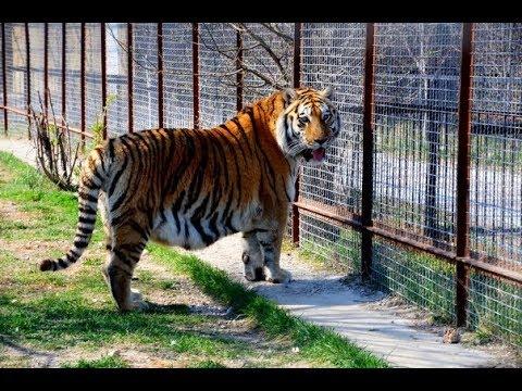 Тигрица Скарлет родила маленького Алтая и никто из тигров его не тронул