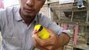 Kepodang emas rampeukeh khas aceh panday niru suara siulan
