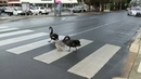 Law Abiding Family of Swans Cross Road at Pedestrian Crossing