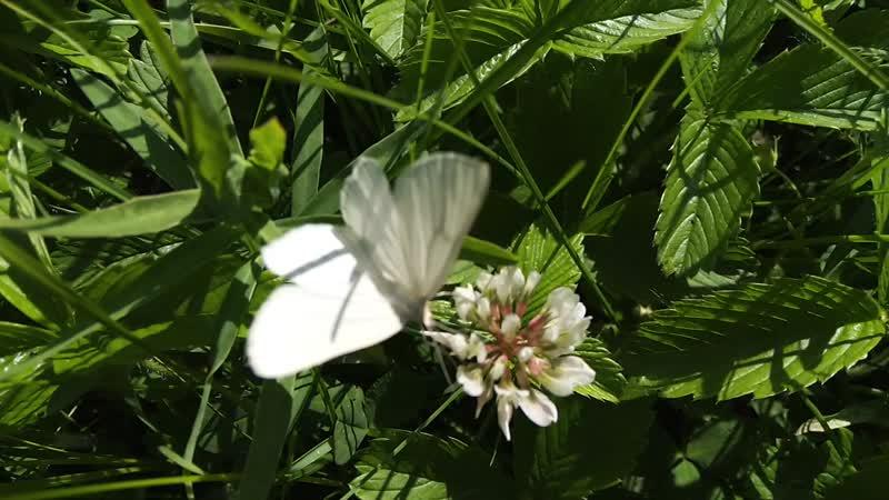 Бабочка невеста