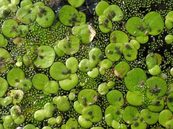 Вольфия (Wolffia angusta) Вольфия относится к самым необычным растениям мира из-за своего крошечного размера. Это водное растение подсемейства рясковых. Размер Wolffia angusta ничтожно мал около