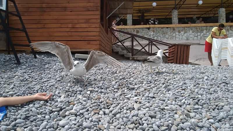 Чайка умыкнула блин у голубя, который сам стащил его из тарелки.