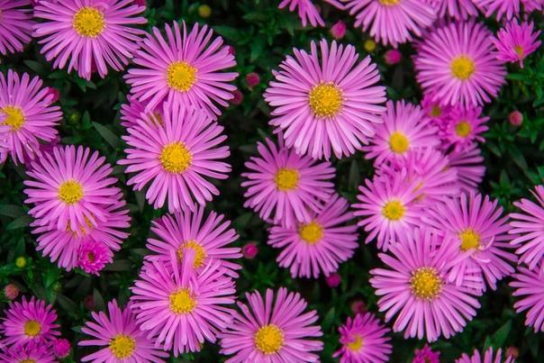 АСТРА АЛЬПИЙСКАЯ Астра альпийская многолетнее травянистое растение семейства Астровые. Садоводов она привлекает разнообразием оттенков, ее цветы могут быть сиреневыми розовыми белыми, малиновыми