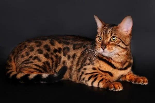 Топ-5 самых дорогих кошек в мире
