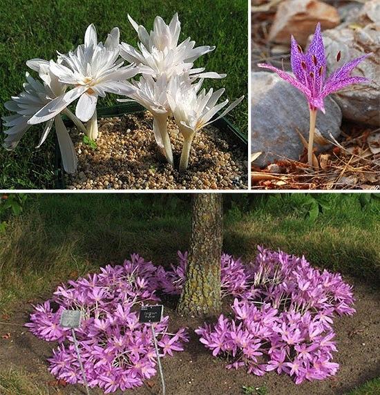 Безвременник  цветущее чудо в осеннем саду