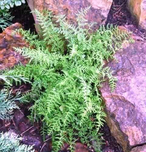Деннштедтия У растений, предназначенных для тенистых участков, есть свои особенности. Как правило, они не требуют особых условий выращивания, и прекрасно растут при минимальном уходе. Одним из