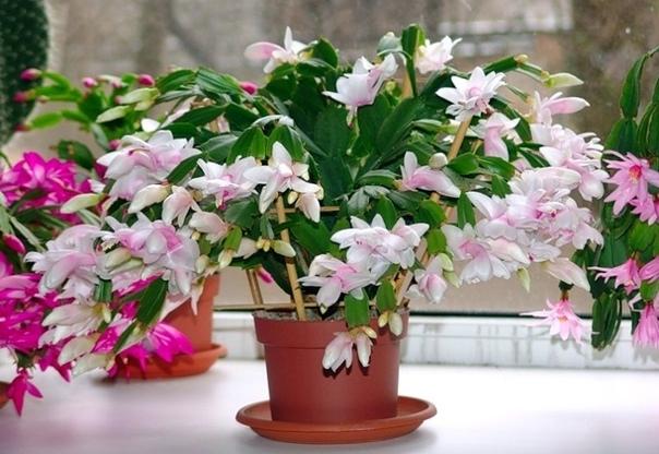 Декабрист Цветы декабристы эпифитные, или лесные кактусы, высотой до 30-40 см, в естественных условиях произрастающие на корнях и стволах тропических деревьев во влажных лесах Бразилии. Их