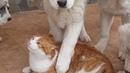 Спасаю кота от настырных щенков алабая , но кот дал отпор 😉 щенки в шоке 😂 нужно купить щенка