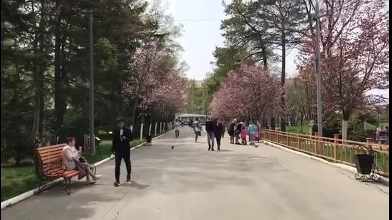 Цветение сакуры в Южно-Сахалинске, городской парк