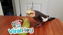 Bird Sings If You're Happy and You Know It || ViralHog
