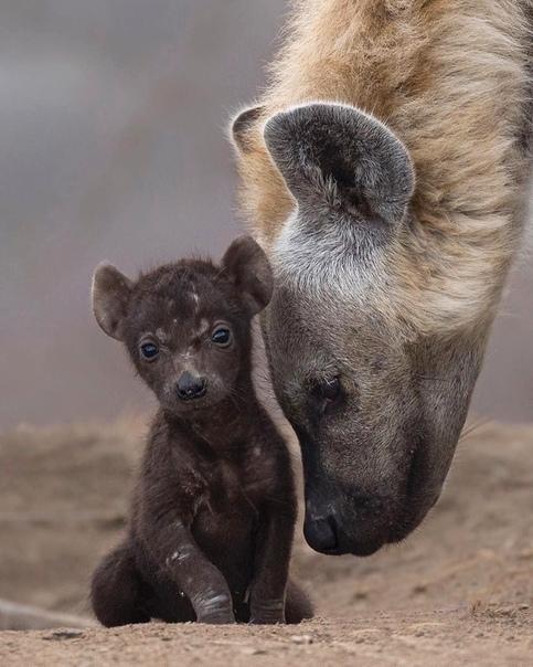 Гиена и детёныш